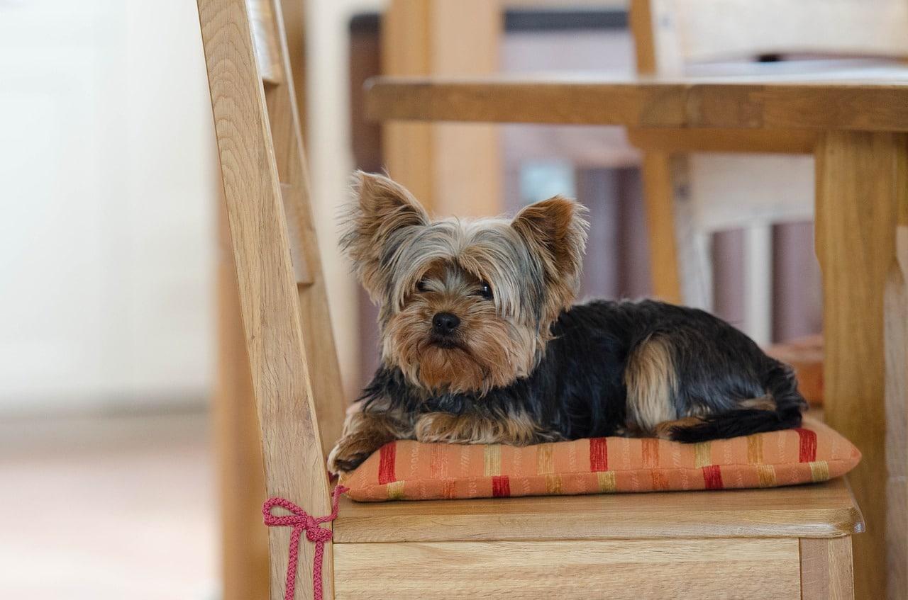 yorkie, yorkshire terrier, cute